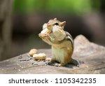 Chipmounk Having Nuts In Wild