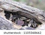 closeup of a rusty nail resting ... | Shutterstock . vector #1105368662