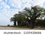 baines' baobabs  nxai pan... | Shutterstock . vector #1105428686