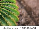 the cactus's sharp thorn is the ... | Shutterstock . vector #1105437668