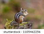 chipmunk looking for nuts in a... | Shutterstock . vector #1105462256