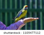Small photo of Tasmania-Australia/ March 2018: green Rosella parrot standing on human arm as some Australian people keep it as pet yet still exist in wild around the Tasmanian island.
