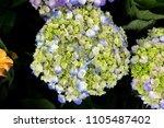 close up beautiful tropical...   Shutterstock . vector #1105487402