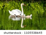 Swan Family At Claer Lake In...