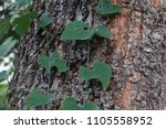 Small photo of Tree bark texture and plant waggle around.