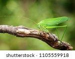 image of green bush cricket... | Shutterstock . vector #1105559918
