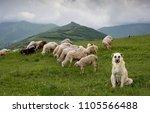 Anatolian Shepherd Dog With...
