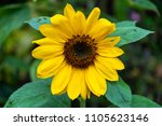 sunflower close up  philippines | Shutterstock . vector #1105623146