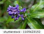 purple viola flower at tagaytay ... | Shutterstock . vector #1105623152
