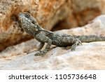 the lizard sits on a rock | Shutterstock . vector #1105736648