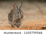 Cute Eastern Cottontail Rabbit...