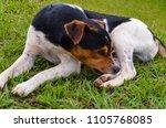 beautiful dog at a little farm... | Shutterstock . vector #1105768085