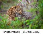 wild cat hidden portrait in...   Shutterstock . vector #1105812302