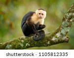 White headed capuchin  black...