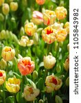 beautiful yellow tulips in a... | Shutterstock . vector #1105843982