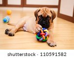 Stock photo little puppy bullmastiff played in the house 110591582