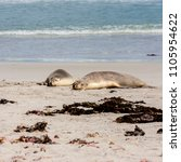 australian sea lions  neophoca... | Shutterstock . vector #1105954622