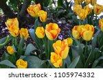 Mount Vernon Tulip Display...