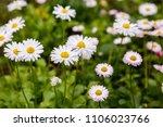 flowering of daisies. oxeye... | Shutterstock . vector #1106023766