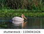 white pelican  pelecanus... | Shutterstock . vector #1106061626
