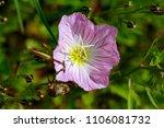 Showy Pink Evening Primrose
