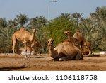 royal camel farm  kingdom of... | Shutterstock . vector #1106118758