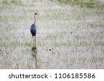ardea cinerea in nature.... | Shutterstock . vector #1106185586