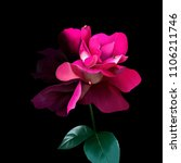 Luxurious Pink Rose On A Black...