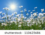 Chamomile Flowers Against The...
