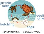 life cycle of sea turtle.... | Shutterstock .eps vector #1106307902