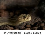 Tropical Rattlesnake Close Up...