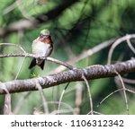 ruby throated hummingbird male  ... | Shutterstock . vector #1106312342