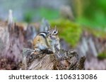 chipmunk deep in a boreal... | Shutterstock . vector #1106313086