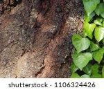 ivy ascending tree surface bark   Shutterstock . vector #1106324426