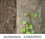 ivy ascending tree surface bark   Shutterstock . vector #1106324432