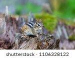 chipmunk deep in a boreal... | Shutterstock . vector #1106328122