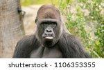 an ape looks sad with an... | Shutterstock . vector #1106353355