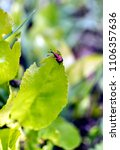 Small photo of beetle weevil on a leaf, pest with Latin name Curculionidae