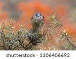 common kestrel  falco... | Shutterstock . vector #1106406692