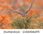 common kestrel  falco... | Shutterstock . vector #1106406695