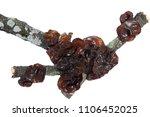 Edible Black Fungus ...