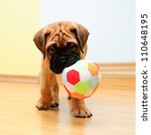 Stock photo little puppy bullmastiff played in the house square shape pictures 110648195