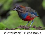whiskered pitta  a rare pitta... | Shutterstock . vector #1106515025