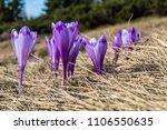 purple crocuses  crocus...   Shutterstock . vector #1106550635