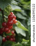 Small photo of red currant risp
