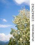 Small photo of Blooming of Ash tree (fraxinus ornos) in springtime. Mountains and blue cloudy sky on background. San Leonardo, Friuli Venezia Giulia; Italy