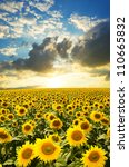 a field of blooming sunflowers... | Shutterstock . vector #110665832