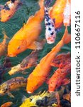 Variegated Carp Swimming In Th...