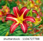 a daylily is a flowering plant... | Shutterstock . vector #1106727788