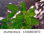 new sprouts of a bush of... | Shutterstock . vector #1106802872